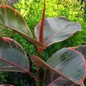 артикул 00361 Фикус кауконосный эластика Белиз 500р.  Фикус Эластика Белиз (Ficus Belize) – это пестролистый сорт Фикуса Каучуконосного, который стал результатом мутации похожего сорта – Тинеке. Главным отличием Белиза является красноватый оттенок на листьях. Так у этого сорта листовые пластины имеют следующие цвета: темно-зеленый, бледно-зеленый, бело-кремовый или светло-розовый. Сама пластина имеет широкоовальную форму с заострением на верхушке листа, гладкая, кожистая, глянцевая. Центральная жилка пурпурного оттенка, выражена с двух сторон. В длину листья вырастают до 23 см, а в ширину – до 13 см, черешок может достигать 2,5 см. Молодые, еще не распустившиеся листья окутаны розовыми прилистниками до 18 см в длину. Фикус Белиз смотрится очень экзотично, так что прекрасно подойдет для любой комнаты.