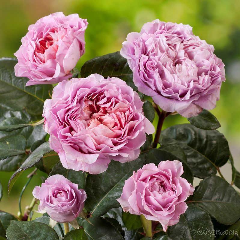 Айсфогель (Eisvogel) Артикул: 00731 400р.Большие, махровые цветы (10-12 см. в диаметре) этого сорта, восхищают своей неповторимой цветовой гаммой. Сиреневые снаружи и оранжевые внутри они отлично смотрятся на расстоянии. Подходят для одиночной и групповой посадки. Отдельно стоит сказать о столь же удивительном аромате этих роз, благодаря которому их часто высаживают в садах ароматов. Отлично подходят для срезки, так как долго стоят радуя глаз и привнося романтическое настроение. Цветение этого сорта практически непрерывное, как и у всего класса чайно-гибридных роз, с середины июня и до глубокой осени нежно-сиреневый, абрикос, хамелеон  Кол-во цветков на стебле: 3-5 Аромат: очень сильный Размер цветка: 10-12 см Среднее кол-во лепестков: 45 Высота: 80-120 см USDA: Шестая зона