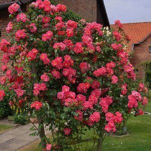 Розы Плетистые