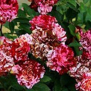 Розы Шрабы (кустарниковые)