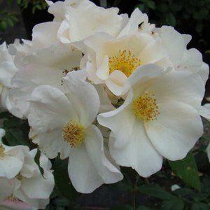 Розы корнесобственные гибриды мускусные