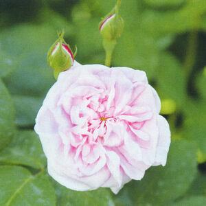 Розы центифольные столепесковые