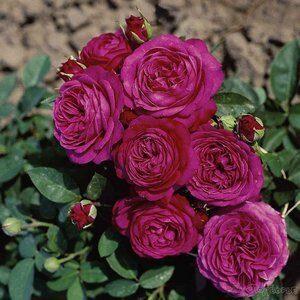 Розы миниатюрные и бордюрные