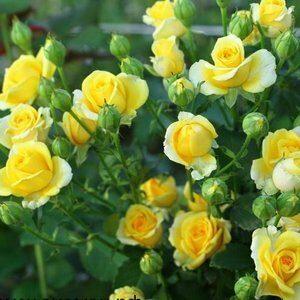 Розы сортов Спрей