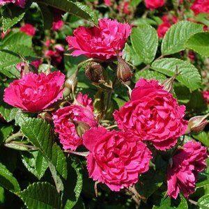 Розы гибриды Ругозы
