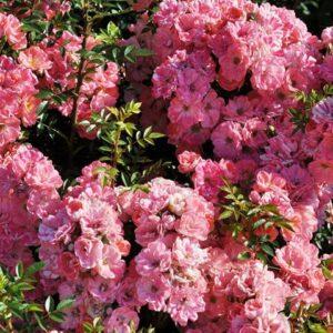 Розы Японские